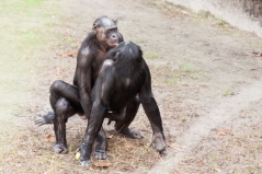 Geschlechtsverkehr zwischen zwei Zweigschimpansen. Bild: Rob Bixby via wikimediacommons (https://upload.wikimedia.org/wikipedia/commons/8/80/Bonobo_sexual_behavior_1.jpg, CC:https://creativecommons.org/licenses/by/2.0/deed.en)