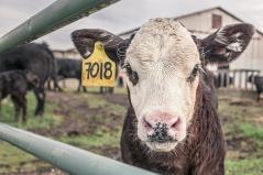 Das Fleischparadox entsteht, wenn Menschen sich bewusst werden, dass Sie gerne Fleisch essen, aber dadurch Tiere sterben. Quelle: https://pixabay.com/de/photos/kalb-kuh-maverick-nutztiere-362170/