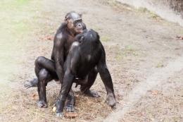 Geschlechtsverkehr zwischen zwei Zweigschimpansen. Bild: Rob Bixby via wikimediacommons (https://upload.wikimedia.org/wikipedia/commons/8/80/Bonobo_sexual_behavior_1.jpg, CC:https://creativecommons.org/licenses/by/2.0/deed.en)